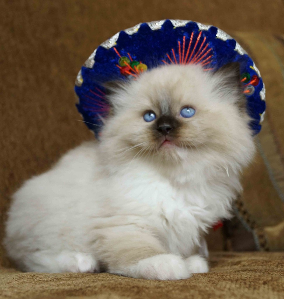 Seal Mitted Male with Mexican Hat