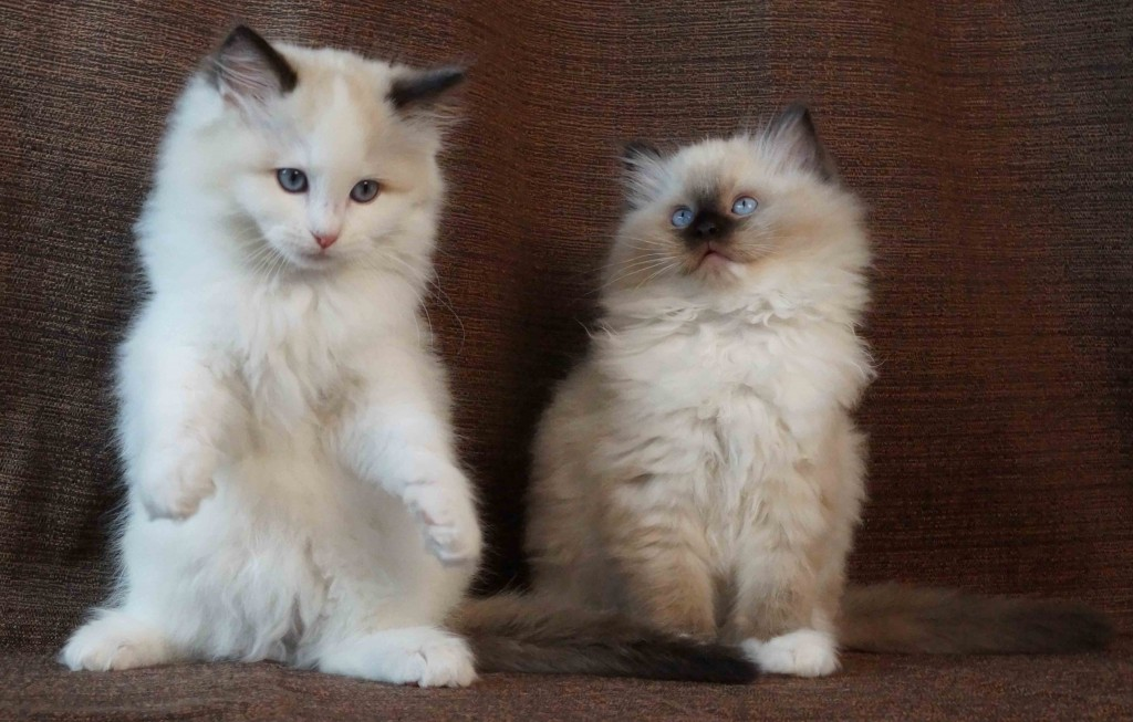 Seal Bicolor Female and Seal Mitted Male