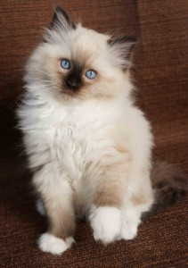 ragdoll kittens north carolina, ragdoll kittens south carolina, ragdoll kittens virginia, ragdoll kittens florida, ragdoll kittens georgia, ragdoll kittens alabama, ragdoll kittens for sale in nc, ragdoll kitten, ragdoll kittens for sale, all star rags cattery, allstar rags cattery, ragdoll kittens
