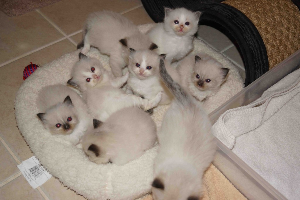 ragdoll kittens for sale in nc, ragdoll kittens north carolina, ragdoll kittens south carolina, ragdoll kittens sc, ragdoll kittens florida, ragdoll kittens virginia, ragdoll kittens georgia, ragdoll kittens alabama, ragdoll cat, ragdoll cattery, ragdoll breeder, all star rags cattery, allstar rags cattery, nicole baca